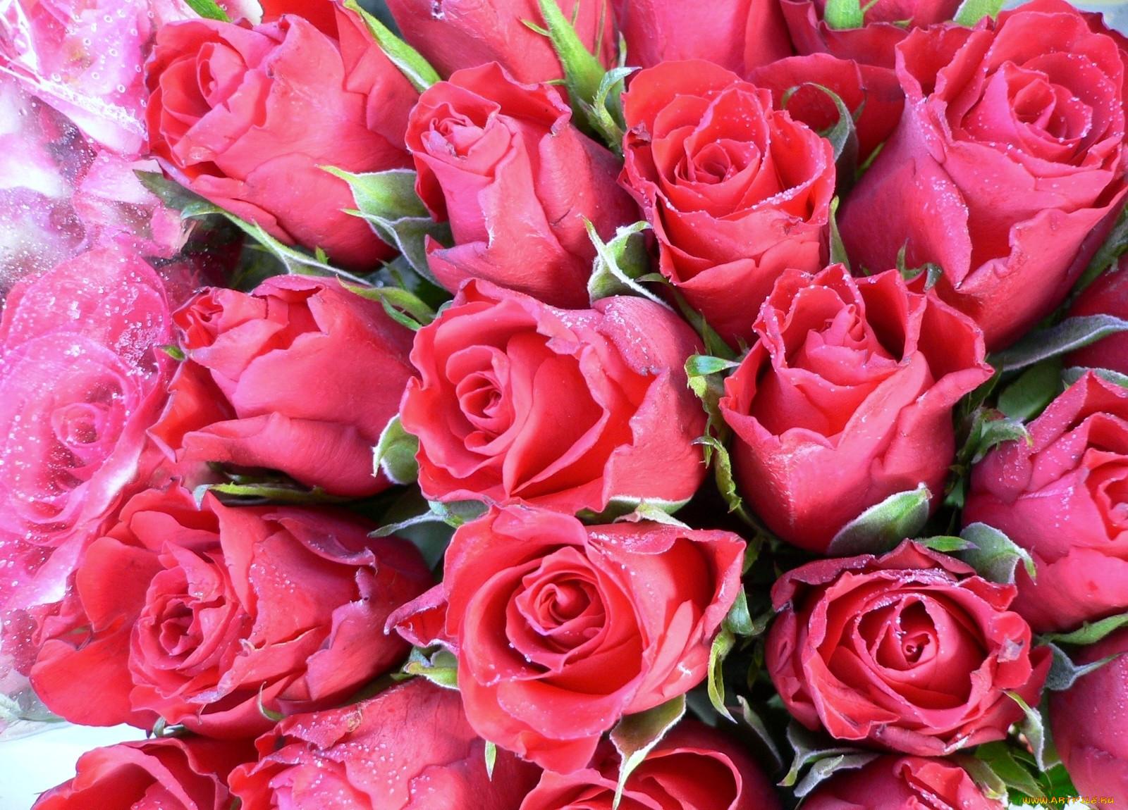 Розы пионовидные картинки 6